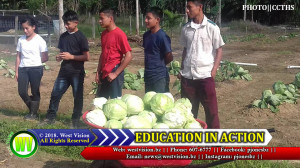 Cabbage production